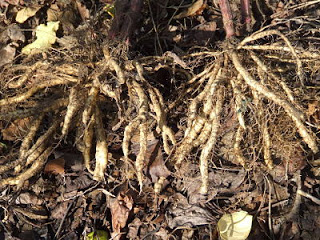 Three year and two year skirret roots