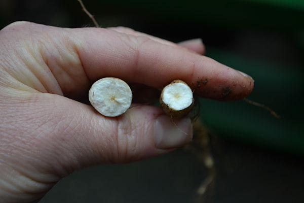 Skirret- woody core