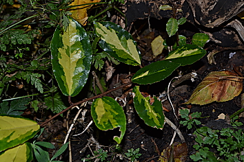 Young Eleagnus ebbingei 'Limelight' plant