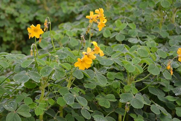 Flowering oca