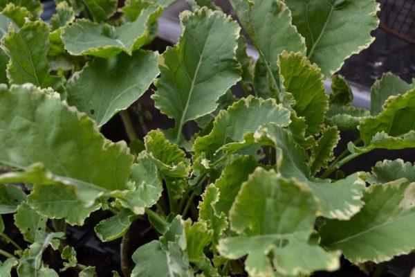 Variegated Daubenton kale