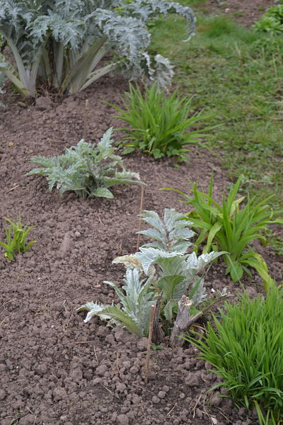 Cardoon, globe artichoke, daylily and silverweed polyculture