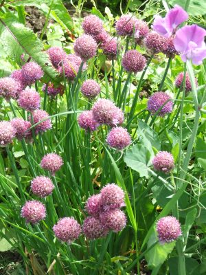 Giant chives in flower