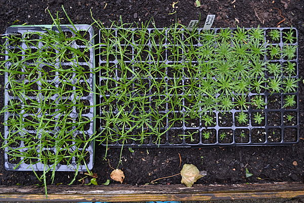Buck's horn plantain seedlings