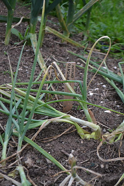 Potato onions ready to harvest