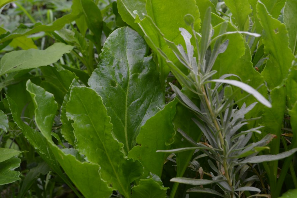 Self-seeded sea beet