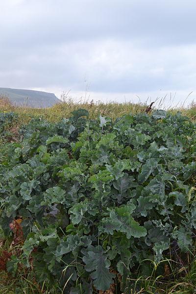 Wild cabbage, Staithes