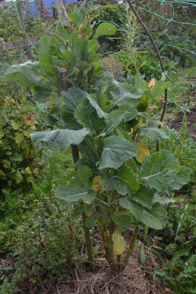 Wild cabbage 'leafed up'