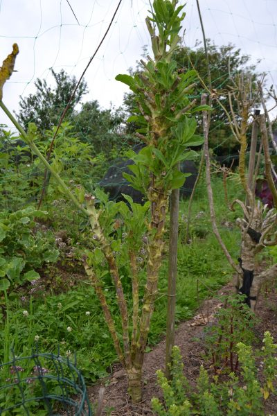 Wild cabbage after pruning flower stems