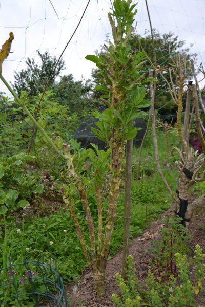 Wild cabbage after pruning flower stems