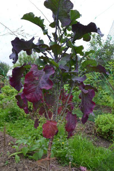 Purple tree collard