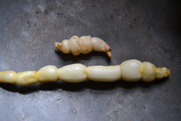 Chinese artichoke and marsh woundwort tubers