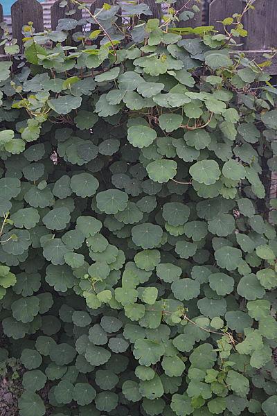 Mashua plant