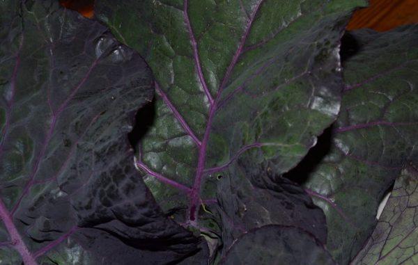 Purple tree collard leaves